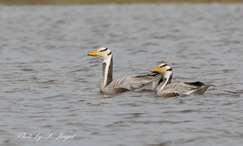 Bar-headed geese (Anser indicus)
