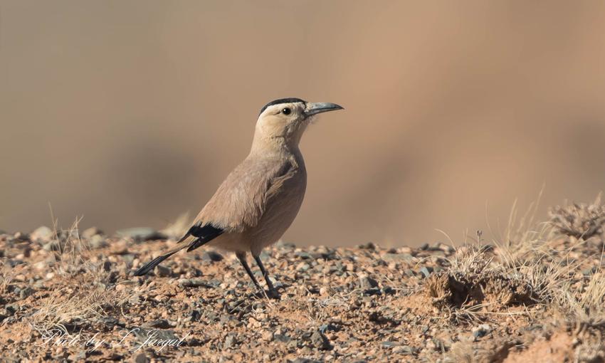 Хулан жороо - Mongolian Ground Jay (Podoces hendersoni)