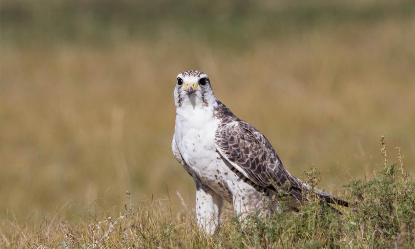 Идлэг шонхор - Saker Falcon (Falco cherrug)_