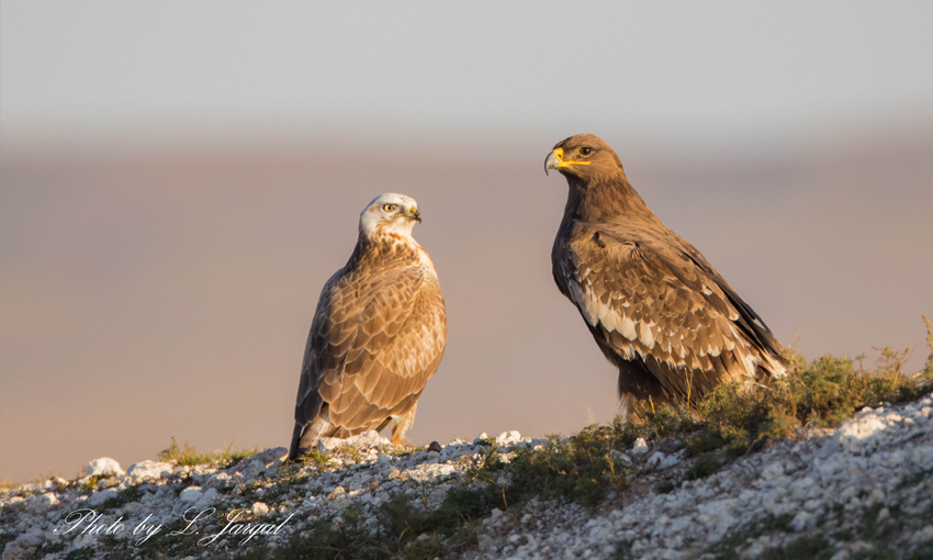 Steppe Eagle (Aquila nipalensis) and Upland Buzzard (Buteo hemilasius)